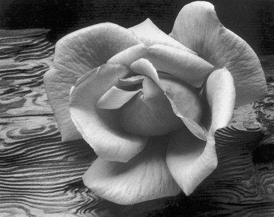 Роза Ансела Адамса (Ansel Adams)